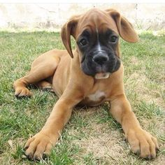 Adorable boxer