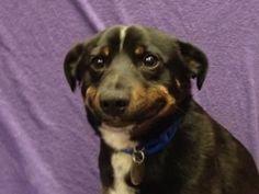 Cuando tu compañero de cuarto te pregunta qué te pareció la lasaña vegetariana sin gluten que pasó dos horas preparándo: | 31 reacciones de perros para situaciones cotidianas