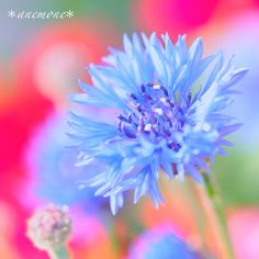 #矢車菊#ヤグルマギク#矢車草#ヤグルマソウ#corn flower