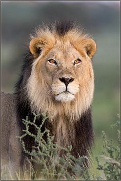 Africa | Kalahari lion ©Thinus and Rosa, via outdoorphoto