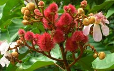 #Achiote is rich source of #Proteins   • Used for feverish infections including #dysentery, #Gonorrhoea, #Hepatitis etc. • Protect your #liver and bring down cholesterol count.  • Used to soothe an irritated and upset stomach due to excessive consumption of spicy food • Effective expectorant for new born and infants • Used as a remedy for poisonous snakebites  Read more:- http://falcon18.com/health-blog/Best-Ingredient-And-Herbs/To-know-about-Achiote/Benefits-and-Advantages-of-Achiote.html
