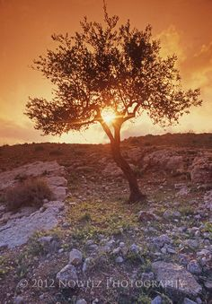 Olive Tree at Sunset in Judean Hills outside Bethlehem near Shepards' Field Bethlehem.