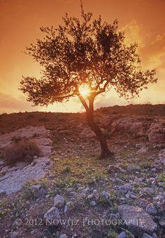 Olive Tree at Sunset in Judean Hills outside Bethlehem near Shepards' Field Bethlehem. www.roseofbethlehem.com