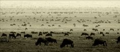 Great Migration at Serengeti (Tanzania) and Masai Mara (Kenya)