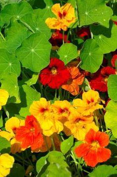 Especial Flores Comestiveis        As flores comestíveis são uma maneira deliciosa de variar seus pratos. Crocantes, aveludado, carnuda. Aro...