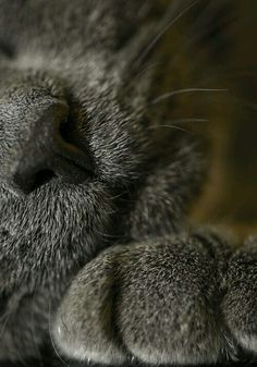 gray kitty nose and paw