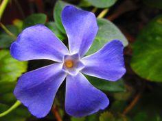 flor en primavera. Chile