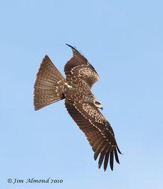 Black Kite Gigrin 11 2 10  IMG_5291