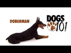 Doberman Dogs 101, Doberman Pinscher, Vizsla, Dog Training, Scooby Doo, Dog Breeds, Education, Cats, Youtube