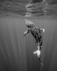 Photo: @andy_mann // One of the rarest sharks in the sea the Oceanic Whitetip displays it's grace while waiting for sea birds to land on the surface: a treat in 3000 feet of water where bigger meals are much harder to come by. I'm here in the Bahamas this week with a leading team of shark conservationists and marine biologists on their 7th year of studying this beautiful shark. We'll perform ultrasounds in hopes of finding pups in the belly of girls like this one. The goal is to apply a…