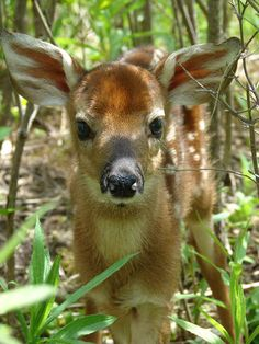 Spotted Whitetailed Fawn - Baby Fawn looking straight ahead.