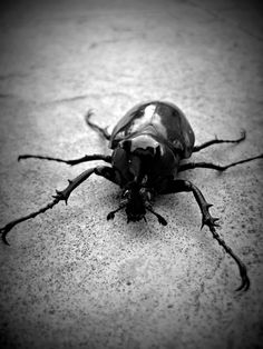 Beetle i guess?     Beetle can be found everywhere, in nearly every different habitat on Earth and are only absent from the freezing polar regions. Cool huh?     #beetle #coleoptera #entomology #insect #insecta #sixlegs #antennas #blackandwhite #fascinating #alexiskiey