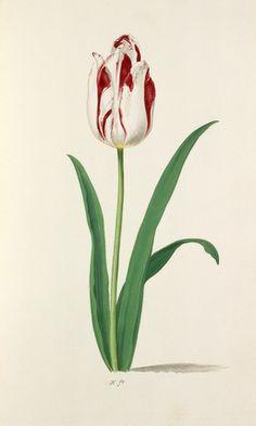 Pieter Holsteyn -- Tulip -- Tulip -- View By Flower -- RHS Prints