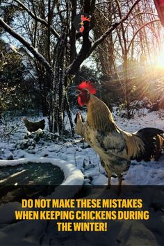 Every Chicken Keeper Needs To Remember To Increase The Water Check-Ups. Types Of Chickens, Keeping Chickens, Pet Chickens, Raising Chickens, Chickens Backyard, Chickens In The Winter, Chicken Breeds, Homestead Survival, Small Farm