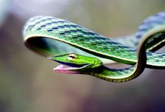 http://twentytwowords.com/2012/08/12/the-flat-bodied-smiley-faced-green-vine-snake-5-pictures/