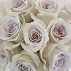 The ethereal and striking 50 Shades of Early Grey rose is a rare and sought after flower. It has green outer petal that blend into a very light lavender, almost grey, hue spiraling through to its center. Create whimsical centerpieces by pairing these wholesale roses with green hanging amaranthus, white veronica and soft dusty miller.