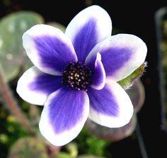 Hepatica japonica Hyoujunka, Hepatica japonica Omome-zaki
