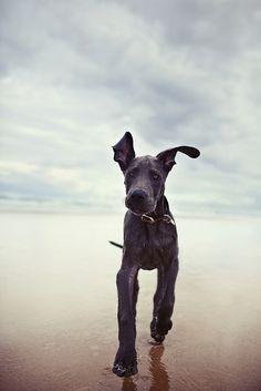 Great Dane puppy, having a wonderful day on the beach. #greatdane