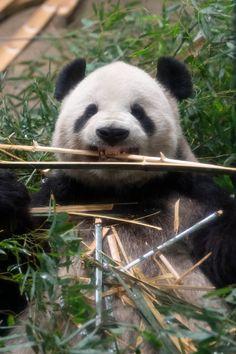 Panda's Dream, Panda Family, Panda Bear, Wall Collage, Animals And Pets, Cute, Shirt, Panda Bears, Pandas