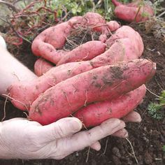 Georgia Jet Sweet Potatoes-80-90 days. In our trials, Georgia Jet has been the earliest to mature. Beautiful emerald green vines, dusky rose skin, and deep orange flesh that is meaty and sweet. Excellent for baking.