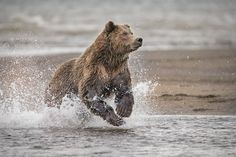 Welcome to Your Shot, National Geographic's photo community. Our mission: To tell stories collaboratively through your best photography and expert curation. Alaskan Brown Bear, National Geographic Photos, Your Shot, Amazing Photography, Nature, Animals, Naturaleza, Animales, Animaux