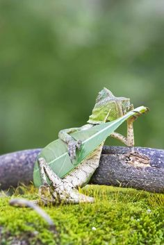 This leaf-strumming lizard thinks it's Jimi Hendrix...forest dragon lizard looked like a true guitar hero as he strummed a leaf in Yogyakarta, Indonesia...