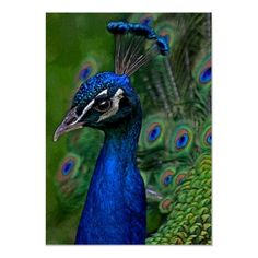 Liven up the walls of your home or office with Peacocks wall art from Zazzle. Check out our great posters, wall decals, photo prints, & wood wall art. Peacock And Peahen, Peacock Blue, Wood Wall Art, Wall Art Decor, Peacock Wall Art, Poster Prints, Art Prints, Modern Artwork, Royalty Free Images