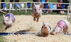 Pig race... - Imgur