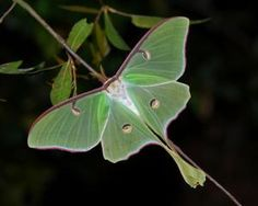 Butterfly or Moth?: The luna moth is colorful, so many people think it's a butterfly.