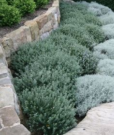 Trailing germander and silver germander mounding shrubs 3' high by 4' wide