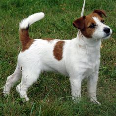 jack russell | Jack Russell Terrier » Gölcük Flipperpetshop Resmi Sayfası