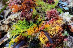 Algas marinas seaweeds