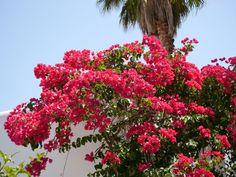 Pflanzen auf Mallorca sind mediterrane Gartenlust pur! Ein ganz besonderer Favorit sind die farbenprächtigen Bougainvilleen.