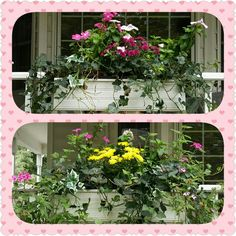 Transition to fall by adding mums to flower boxes and planters in early September. For longevity choose plants that are beginning to bud and not in full bloom.