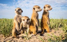 Three-Week-Old Baby Meerkats Be sure to watch the adorable video at the bottom of the page.