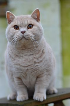 Xzibit British Shorthairs Cream boy