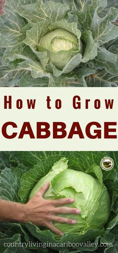 Growing Cabbage in your garden - here's what you need to know. Grow Red Cabbage or Green Cabbage - great for coleslaw
