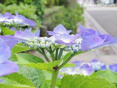 ajisai あじさい 紫陽花