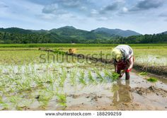 Worker planting rice in the field, Philippines - stock photo