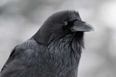 """Ravens' fear of unseen snoopers hints they have theory of mind (via New Scientist) (2 February 2016) Recent experiments offer """"strongest evidence yet that ravens have a """"theory of mind"""" – that they can attribute mental states such as knowledge to others."""""""