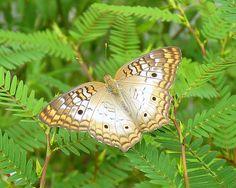 http://www.birdsandblooms.com/blog/butterfly-photography/