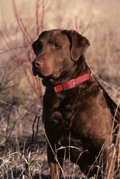 Chesapeake Bay Retrievers - Water-Loving Dog is Loyal Family Companion