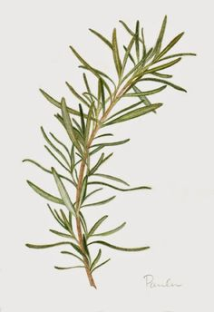 Blog post about my colored pencil drawings of parsley, sage, rosemary and thyme.