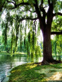Love this spot - Looks like Boston Public Garden. Back in the 70's I used to hang out and paint under a tree very much like this one.