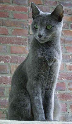 Russian blue cat #RussianBlueCat