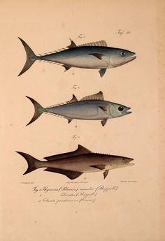 1835-1840 - Neue Wirbelthiere zu der Fauna von Abyssinien gehörig / - Biodiversity Heritage Library