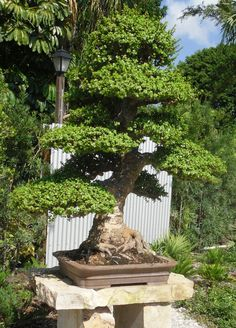 The James J. Smith Bonsai Gallery, the largest tropical bonsai collection in the U.S.