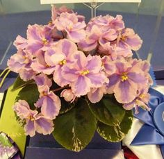 North Star African Violet Council Twin Cities