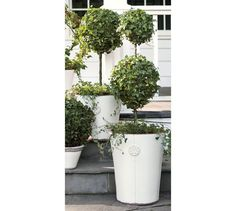 outside front door Live Ivy Classic Topiary   Pottery Barn