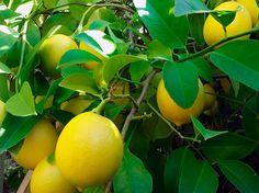 Плодоносящий домашний лимон